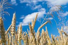 Ears against the blue sky Stock Photography