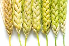 Ears of barley Stock Photos