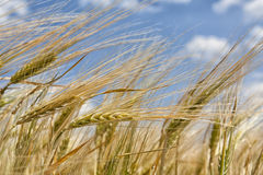 Ears Of Barley Royalty Free Stock Photo