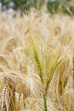Ears of barley. In a field soon to be cropped (selective focus Royalty Free Stock Photography