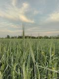 Triticale. Field on may Royalty Free Stock Photography