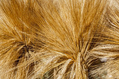 Ears of barley. Royalty Free Stock Image