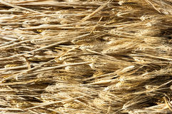 Ears of barley illuminated by a warm light. Royalty Free Stock Images