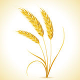 Ears of Barley Royalty Free Stock Image