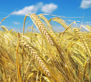 Ears of barley Stock Images