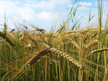 Ears of barley ripening in a sunny field Royalty Free Stock Images