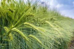 The ears of barley under the weight of grain are knocked out of the total mass royalty free stock photography