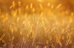 Ears and blades of grass glow in the bright summer sun at. Fluffy ears and blades of grass glow in the bright summer sun at dawn Royalty Free Stock Images