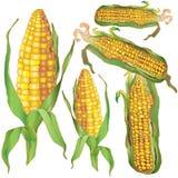 Ears of bright, ripe corn Stock Photo
