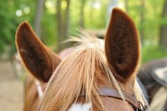 Ears of brown horse Royalty Free Stock Photography
