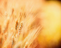 Ears of cereals, close up, outdoor stock photo