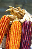 Ears of corn Royalty Free Stock Images