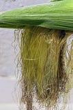 Ears of corn Stock Photography