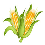 Ears of corn stock illustration