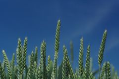 Ears of corn. Close up of corn plants in a cornfield against deep blue sky royalty free stock image