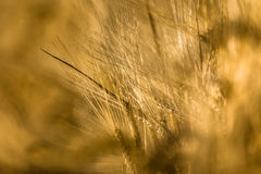 Ears of corn. Ears of Barley in detail with blurred background Stock Image