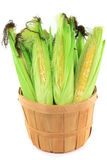 Ears of corn in a bushel. Still Picture of corncobs with leaves and corn silk in wooden basket bushel over white background stock photo