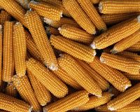 Ears of corn Royalty Free Stock Photography