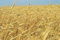 Ears of corn Stock Photos