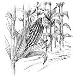 Ears of corn in a field in summer before harvest. Hand drawn and converted to vector Illustration Stock Photo