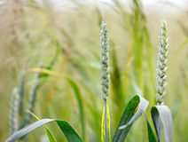 Ears of corn in a field Royalty Free Stock Photography