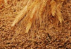 Ears of corn and grain Stock Photography