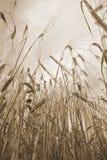 Ears of corn Stock Image