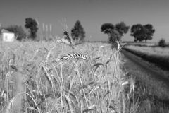 Ears of corn. Grain and road Royalty Free Stock Images