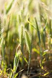 Ears of corn on the grass Royalty Free Stock Photo