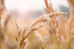 Ears of corn growing on a Farmer`s Field in the Fall. Wheat burst of blurred light yellow background. Selective focus. Stock Image