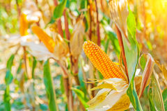 Ears of corn on plants with blrred background Royalty Free Stock Photography