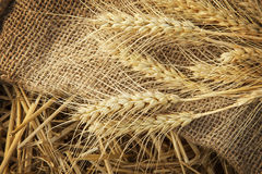 Ears of corn on sackcloth in haystack Royalty Free Stock Images