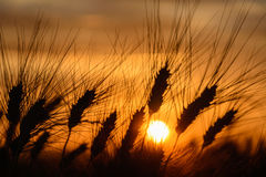 Ears of corns at sunset. In summer in a field in Tuscany stock images