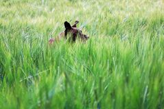 The ears of a dog running through a green barley field stock photo