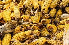 Ears of dried corn or maize Royalty Free Stock Image