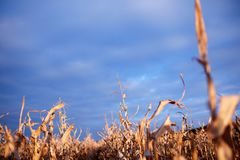 Ears of dried maize plants in evening light Royalty Free Stock Photography