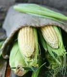 Ears of fresh corn Royalty Free Stock Images