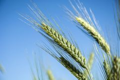 Ears of golden triticale against the sky. Close up royalty free stock photography