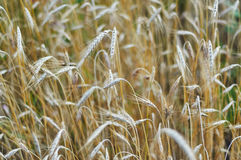 Ears of golden wheat close up. Rich harvest concept. Beauty of summer nature stock photos