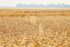 Ears of golden wheat close up royalty free stock images