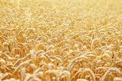 Ears of golden wheat close up royalty free stock photos