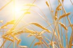 Ears golden wheat closeup. Wheat field Royalty Free Stock Image