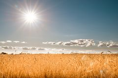 Ears of golden wheat closeup. Wheat field Royalty Free Stock Image