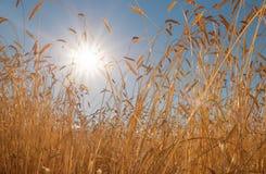 Ears of golden wheat closeup. Wheat field Stock Photos
