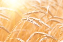 Ears of golden wheat closeup. Wheat field Stock Images