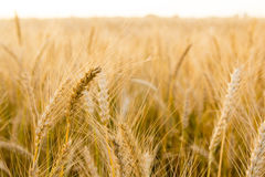 Ears of golden wheat on the field close up. Beautiful Nature Sunset Landscape. Rural Scenery under Shining Sunlight Royalty Free Stock Images