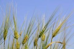 Ears. Golden wheat ears full of grain. harvest bread Royalty Free Stock Photography