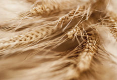 Ears of grain Stock Photo