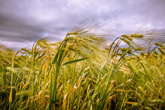 Ears of grain with a dark sky in the background. Stock Photography