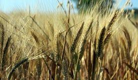 Ears of grain Royalty Free Stock Photo